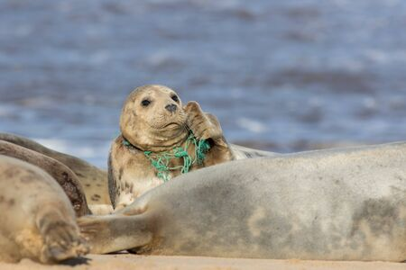 Animal welfare. Seal caught in plastic fishing net. Marine pollution. Wild seal with fishing net caught around its neck. Sad distressing animal meme image. Threat to wildlife from man-made pollution. Stock Photo