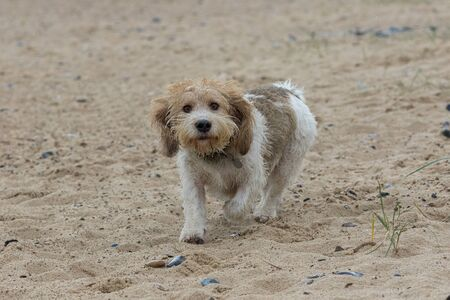 Cute adorable French basset hound dog walking on the beach. Grand Basset Griffon Vendeen (GBGV) dog looking at camera. Funny expression on this adorable friendly looking pet. Archivio Fotografico