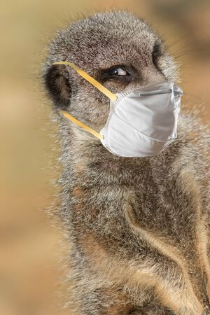 Stay safe. Meerkat wearing a protective face mask. Funny Covid19 coronavirus meme image. Composite of animal in PPE personal protective equipment looking cautiously smug saving lives and the NHS Archivio Fotografico