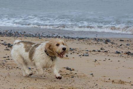 Funny happy grand basset griffon vendeen hound dog having fun on beach walk. Adorable cute dog enjoying exercise running by the sea.