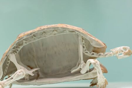 Animal adaptation. Cross section of a tortoise skeleton. Reptile shell skeletal specimen in close up against plane background with copy-space. Standard-Bild