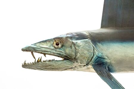 Lancetfish. Close-up of Alepisaurus ferox. Long deepwater fish isolated on white background. Monster looking fish with sharp teeth found in deep Pacific ocean water.