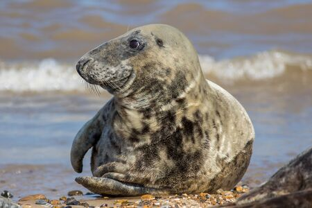 Grey seal (Halichoerus grypus). Beautiful animal portrait of an adult male gray seal from Horsey UK. Coastal wildlife and nature image capturing the Horsehead and Atlantic seal type in close-up.