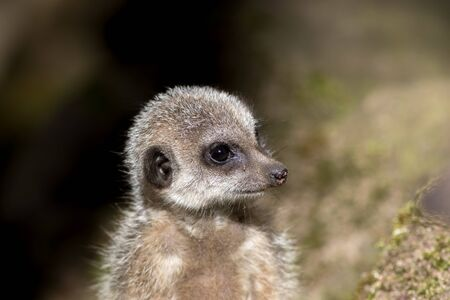 Cute looking baby animal. Close-up of a juvenile meerkat face. Archivio Fotografico