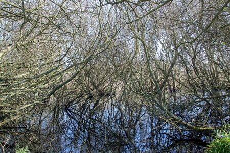 Leafless tree branches reflection over still water, abstract nature background. Winter trees in the country texture and pattern image. Mass of complex intertwining branches reflecting on pond.