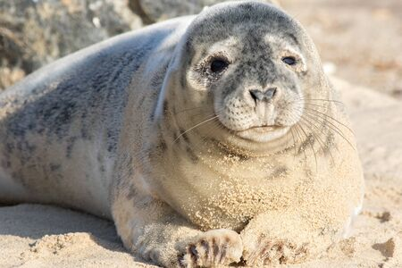 Baby seal pup. Cute adolescent gray seal puppy. Wild grey seal portrait image. Fluffy young animal from Horsey colony Norfolk UK. Facing the camera with silver and white spotty fur covered in sand