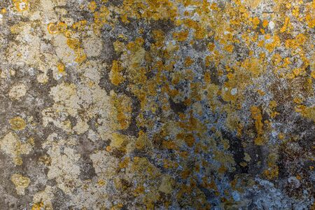 Yellow lichen on old concrete. Abstract background image. Ancient stone with yellow and gray crustose lichens in close-up.
