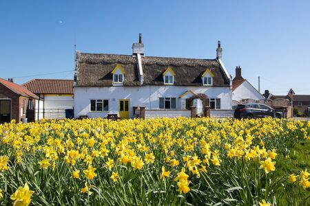 Pretty yellow daffodils with quaint English village thatched cottage in spring. Springtime scene with yellow flowers and old character house building.