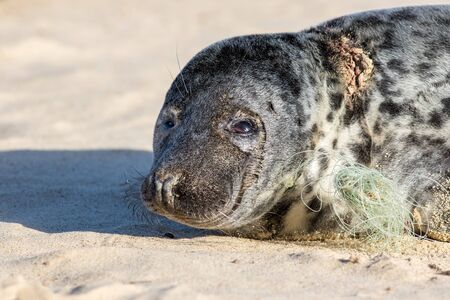 Animal suffering. Plastic beach and marine pollution. Seal caught in fishing net line. Close-up of a sad looking seal with neck wound. Animal rights and welfare image. Norfolk, coast, UK