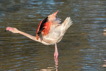 Beautiful displaying pink flamingo bird bowing in water. African wildlife image of greater flamingo Phoenicopterus roseus. Flamingo stretching its neck.