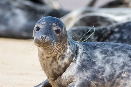 Seal from Horsey colony  UK with fishing net line caught around its neck. Beautiful animal suffering due to plastic marine pollution. Close-up of a common problem caused by man-made commercial netting Imagens