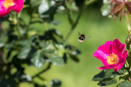 Bee Pollination. Bumblebee insect flying to a garden rose flower in spring or summer. Bee hovering mid-air above the hot pink petals and yellow stamen of a pretty wildflower. Beautiful nature image.
