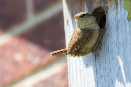 Close-up of a Wren (Troglodytes troglodytes). Beautiful adult garden bird perched on a home-made nest box in the UK.