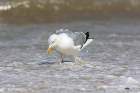 Herring gull (Larus argentatus) fishing in shallow sea water. Coastal wildlife UK. Close-up of common European seagull standing on the beach foraging by waves. Serenity and tranquility in nature image
