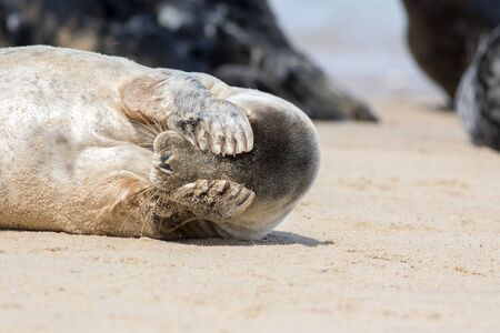 Peekaboo. Cute seal covering its eyes. Funny animal meme image of a seal waking up with a headache the morning after the night before. Stressed seal from the Horsey colony UK unable to face the world. Standard-Bild