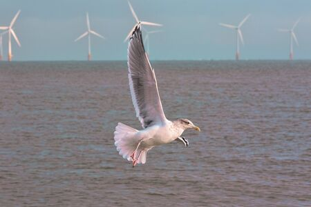 Clean energy. Seagull with offshore wind farm turbines background Natural renewable energy. Sustainable resources nature conservation image. Freedom and purity represented by flying sea bird close-up