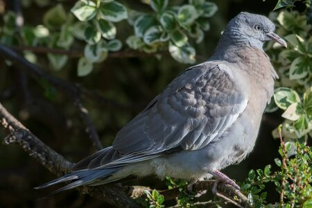 Juvenile woodpigeon in profile close-up. Pigeon perched on a branch in a UK garden. Young wild Columba palumbus bird. Standard-Bild