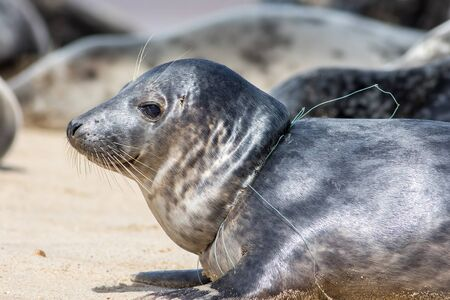 Animal suffering. Close-up of a seal from the Horsey colony UK with fishing net line caught around its neck. Common wound caused by plastic marine pollution from the commercial fishing industry.