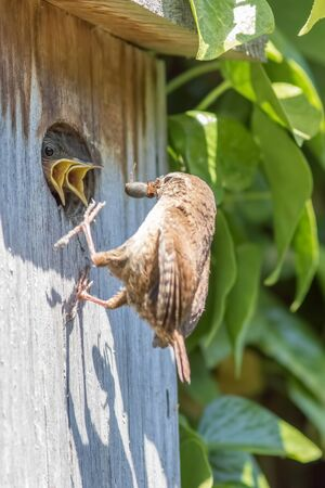 Hungry baby birds. Wren chicks with open beaks being fed spiders at a nest box. Parent bird feeding insect food. Screaming kids with sibling rivalry. Competition for food and survival of the fittest