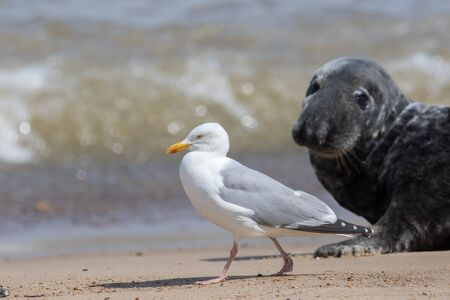Coastal wildlife. Adult Herring gull (Larus argentatus) walking on the beach with a seal watching. Seagull at the Horsey grey seal colony Norfolk coast UK. Diverse ecosystem and ecology nature image. Imagens