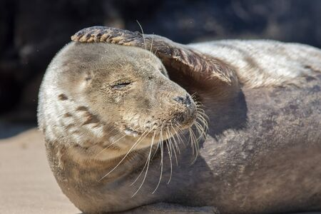 Headache. Funny animal meme image. Seal with a sore head. Morning after the night before gesture. Gray seal with its hand on top of its head. Cute animal with a worried expression or hangover.