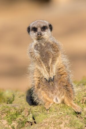 Cute meerkat portrait image. One leg shorter than the other. Funny animal meme image. Curious animal with cream brown backgound.
