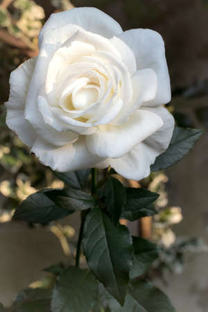 Close-up of a beautiful white rose in an English flower garden. Perfect white rose petals in full bloom with green stem and leaves. Standard-Bild