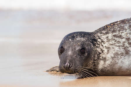 Seal portrait image. An endangered species of coastal wildlife this nature photograph is of a baby grey seal from Horsey UK. Beautiful wild animal facing the camera. Conservation shot with copy-space Standard-Bild