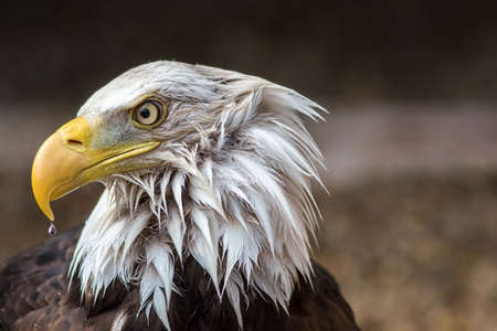 American bald eagle close-up with wet feathers and rain drop. Face of an eagle in profile with water dripping from beak on a rainy day. Powerful wildlife image of USA national bird after a bad storm