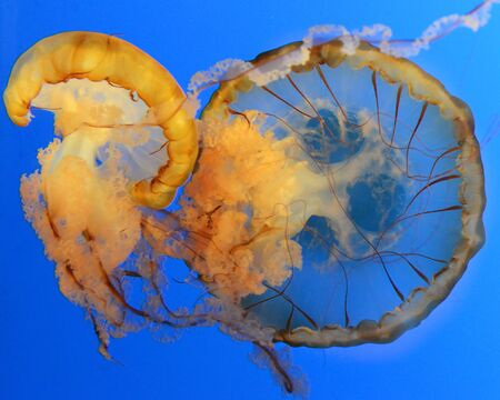 Jellyfish swimming gracefully through the water  photo