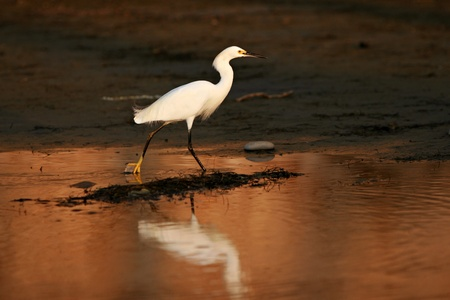 Snowy Egret (Egretta thula) hunts for prey in tidal flats at dusk. Stock Photo