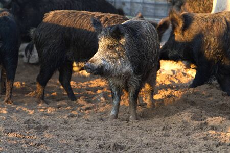Caged wild hogs