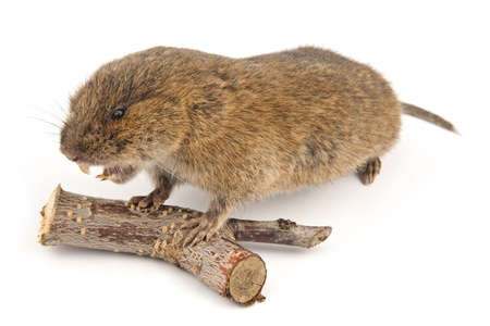 Woodland Vole (Arvicola terrestris) Stock Photo