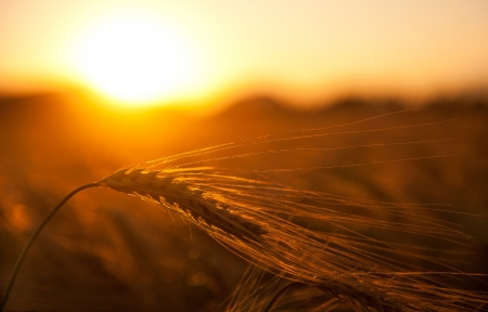 field sunset: Wheat sunset Stock Photo