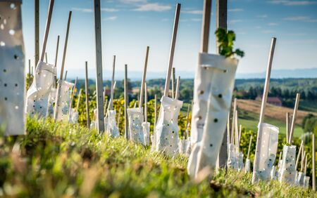 Young vineyard in the countryside Stock Photo