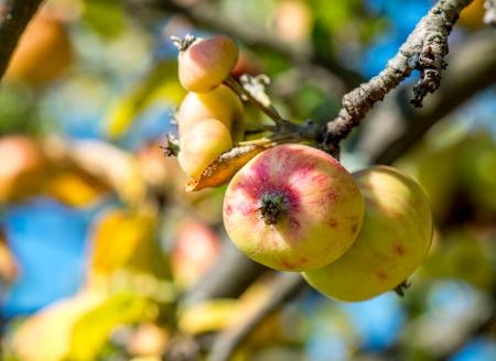 Alma egy ágon Vértes sárga, piros alma egy ágon. Stock fotó