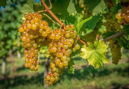 Arany szőlő a szőlő és zöld levelek Stock fotó