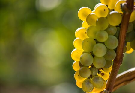 Gold Riesling grapes hang from the vine and colorful leaves Stock Photo