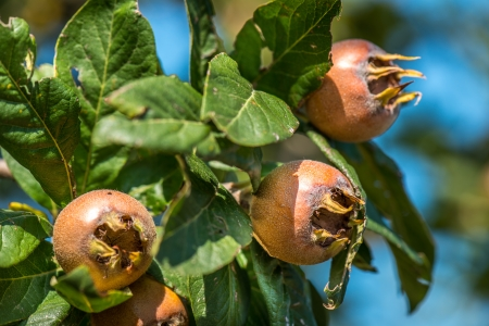 Healthy Medlars in fruit tree Stock Photo