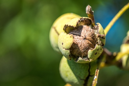 Ripe walnuts popping out of their shell.