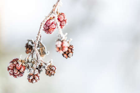 Frozen Raspberries with Ice Crystals in Winter Idyll