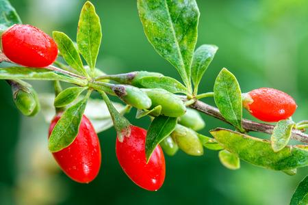 Goji berry - Twig filled with fresh goji berries Archivio Fotografico