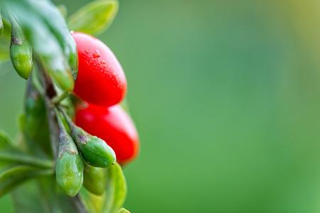 goji berry: Goji berry - Twig filled with fresh goji berries Stock Photo