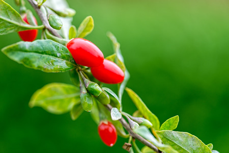 goji: Goji berry - Twig filled with fresh goji berries Stock Photo