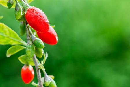 Goji berry - Twig filled with fresh goji berries Standard-Bild