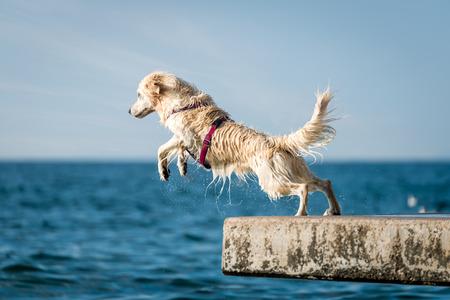 yellow lab: Golden Retriever dog jumping into sea