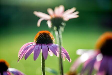 Echinacea purpurea Stock fotó