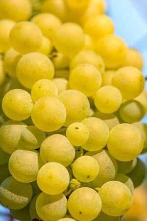 Arany szőlő a szőlő Stock fotó