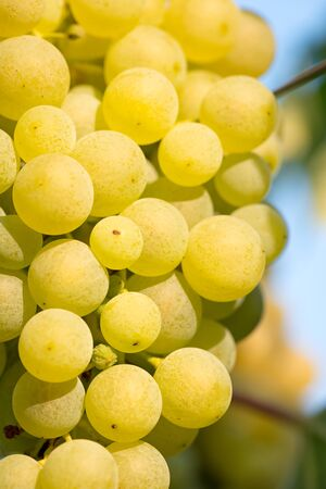 riesling: Gold Riesling grapes hang from the vine and blue sky Stock Photo