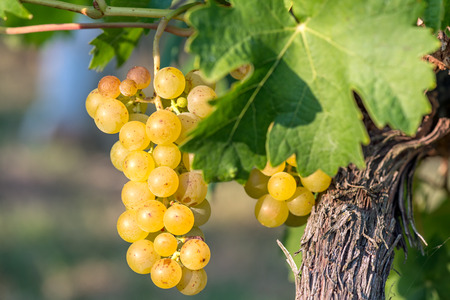 bunch of grapes: Gold Grapes on the Vine and green leaves